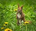 Amongst dandelions (explored) - Flickr - hedera.baltica.jpg