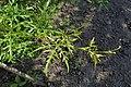 Ampelopsis aconitifolia kz01.jpg