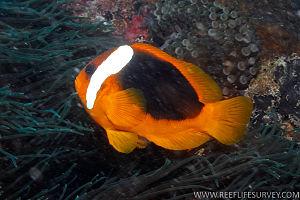 Cinnamon clownfish - Image: Amphiprion rubrocinctus RLS