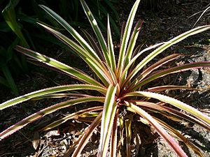 Ananas bracteatus - Ananas bracteatus