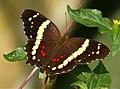 Anartia fatima. Banded Peacock (41021091430).jpg