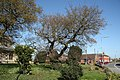 Ancient Oak - geograph.org.uk - 1288743.jpg