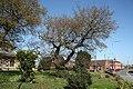 Ancient Oak - geograph.org.uk - 1288743.jpg