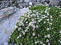 Androsace alpina.jpg