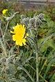 Andryala pinnatifida kz10.jpg