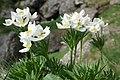 Anemone narcissiflora (48349738432).jpg
