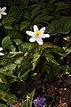 Anemone nemorosa 00a1.jpg
