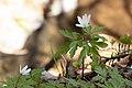 Anemone pseudoaltaica 15.jpg