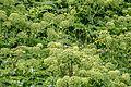 Angelica archangelica01(js).jpg