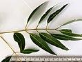 Angophora costata - leaves (adult).jpg