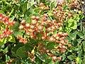 Angophora hispida IMG 6510 (2045339677).jpg