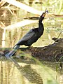 Anhinga swallowing a spiny catfish in Corkscrew Wildlife Sanctuary (31843765003).jpg