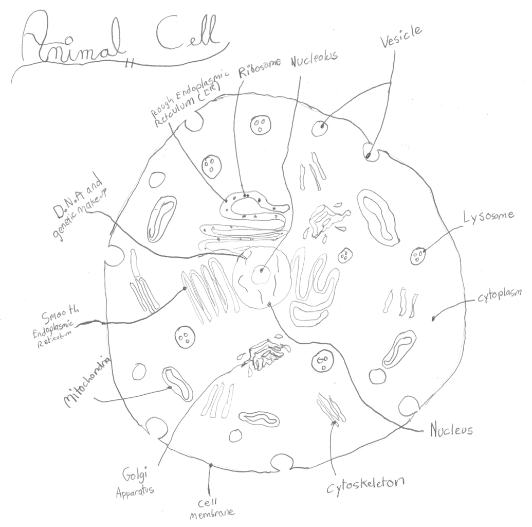Fileanimal cell diagramg wikimedia commons fileanimal cell diagramg robcynllc Choice Image