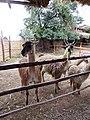 Animals of Peru 135.jpg