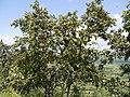 Anogeissus latifolia (15300678596).jpg