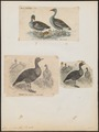 Anser cinereus - 1700-1880 - Print - Iconographia Zoologica - Special Collections University of Amsterdam - UBA01 IZ17600127.tif