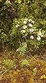 Anthemis cotula plant (01).jpg