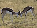 Antidorcas marsupialis combat MHNT.jpg