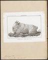 Antilopa lanigera - 1838 - Print - Iconographia Zoologica - Special Collections University of Amsterdam - UBA01 IZ21400269.tif