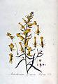 Antirrhinum linaria var. peloria — Flora Batava — Volume v3.jpg