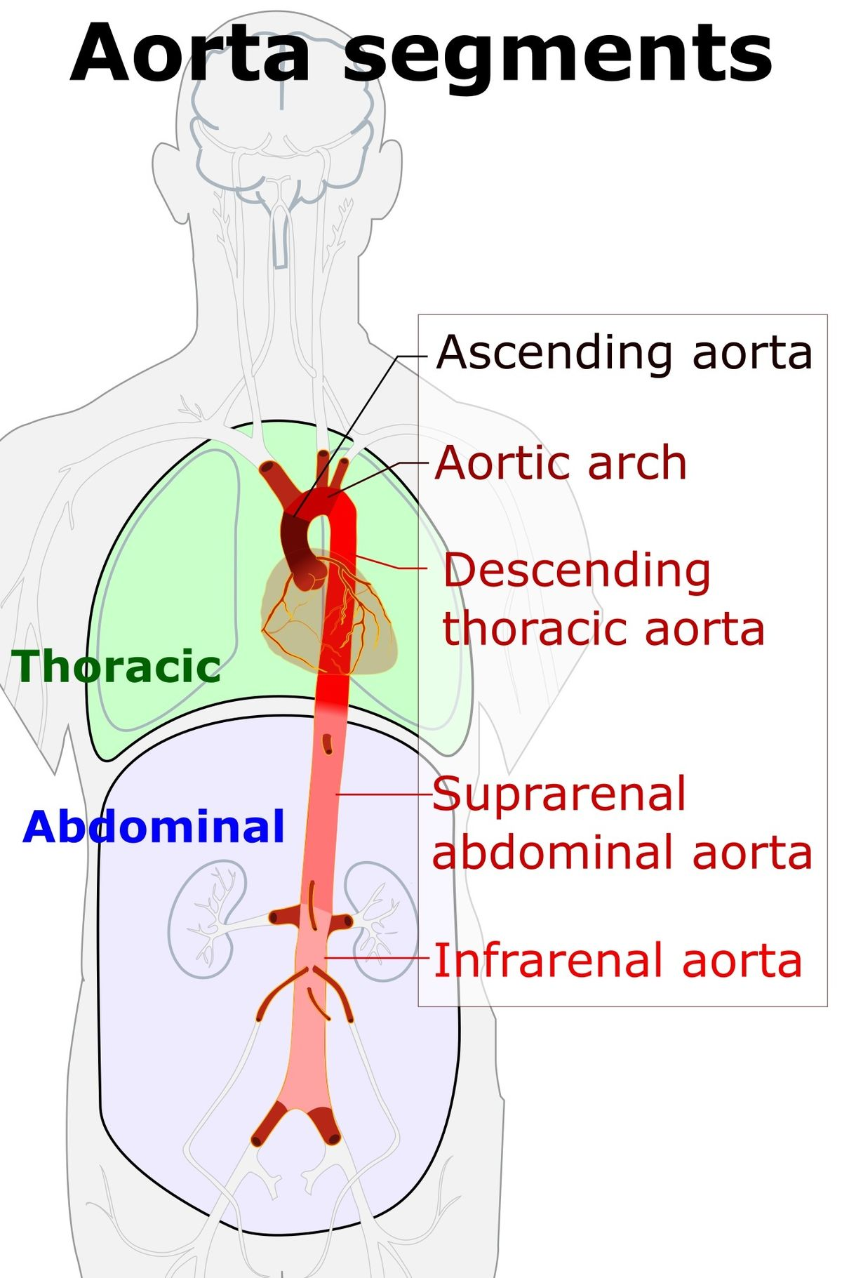 Pictures Of Abdominal Arteries