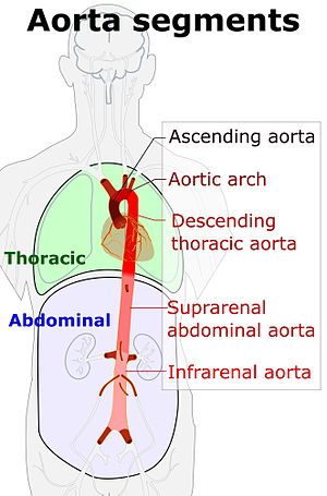 Descending thoracic aorta - Schematic view of the aorta and its segments, with Descending thoracic aorta labeled near middle