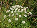 Apiaceae - Laserpitium latifolium-2.JPG