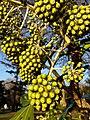 Apiales - Fatsia japonica - 9.jpg