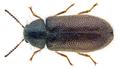 Aplocnemus impressus (Marsham, 1802) (28562080274).png