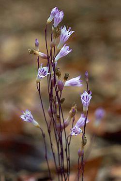 Apteria aphylla000004.jpg