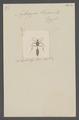 Apterogyna - Print - Iconographia Zoologica - Special Collections University of Amsterdam - UBAINV0274 043 04 0018.tif