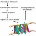 Aquagliceroporines i malària.png