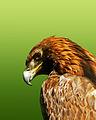 Aquila, recuperata ed assistita presso l'oasi wwf di Vanzago.JPG