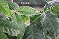 Arabica Coffee Bean on the tree.jpg