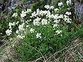Arabis alpina a3.jpg