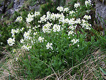 http://upload.wikimedia.org/wikipedia/commons/thumb/5/53/Arabis_alpina_a3.jpg/220px-Arabis_alpina_a3.jpg