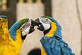 Araras azul e amarelo se beijando.jpg