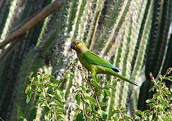 Aratinga pertinax -national park -Aruba-8.jpg