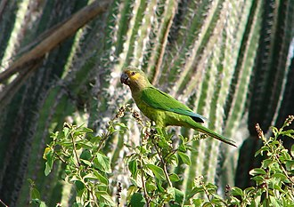 Brown-throated parakeet - Eupsittula pertinax arubensis in Aruba