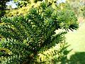 Araucaria biramulata (2).JPG