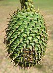 Araucaria cunninghamii cone.jpg