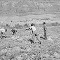 Arbeiders maken akkers vrij van stenen bij kibboets Ein Gidi, Bestanddeelnr 255-2735.jpg