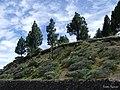 Arboles en una ladera - panoramio.jpg
