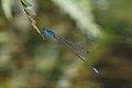 Archibasis oscillans-Kadavoor-2016-06-14-001.jpg