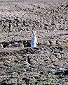 Arctic Hare 1997-08-04.jpg