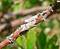 Arctostaphylos tomentosa ssp insulicola 4.jpg