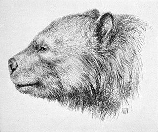 <i>Arctotherium</i> genus of South American short-faced bears of Pleistocene