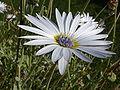 Arctotis grandis 'Blue-eyed daisy' (Compositae) flower.JPG
