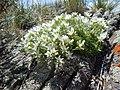 Arenaria hookeri (23705841856).jpg