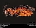 Argid sawfly (Argidae, Arge coccinea (Fabricius)) (36217468740).jpg